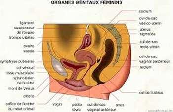 Anatomie du ventre