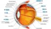 Qu'est-ce qu'un œil, et pourquoi sont-ils deux : anatomie